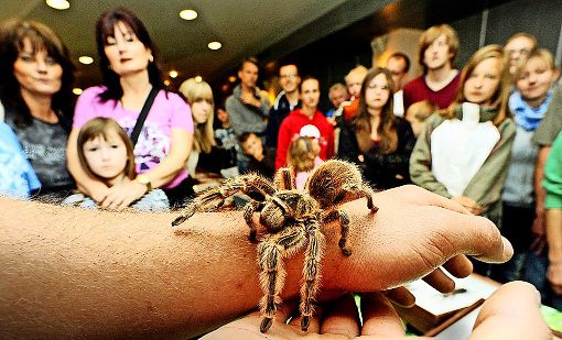 xxl tarantula insekt expo in g ppingen spinnen skorpione und was da sonst so kreucht und. Black Bedroom Furniture Sets. Home Design Ideas