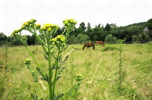 Jakobskreuzkraut: Giftiges Kraut tötet Pferde und Rinder - Stuttgarter Nachrichten