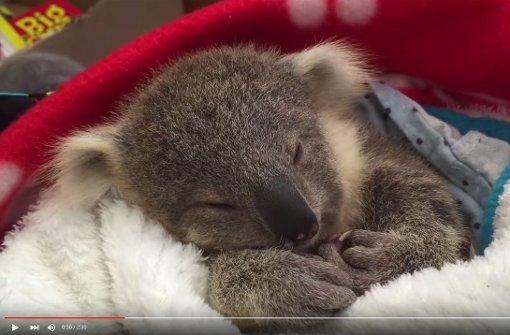 youtube video aus australien g hnendes koala baby ist einfach zu s petcontent stuttgarter. Black Bedroom Furniture Sets. Home Design Ideas