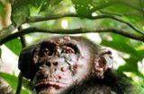 Lepra bei Schimpansen: Aussätzige im Regenwald