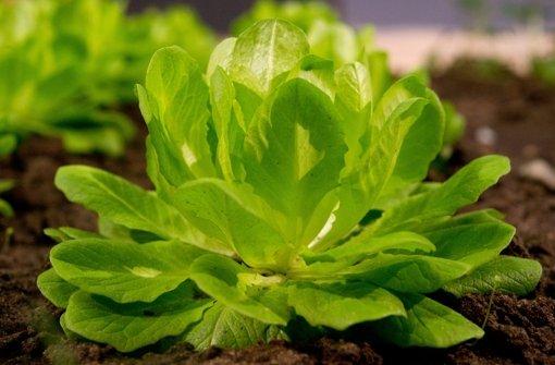 Wer Salat jetzt aussäht, kann früh ernten. In unserer Bildergalerie erfahren Sie, was im februar im Garten zu tun ist. Foto: dpa