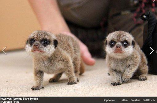 So süß sind Baby-Erdmännchen