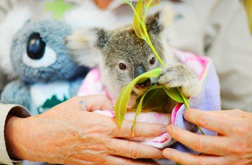 Hilfe für Koala ohne Mama
