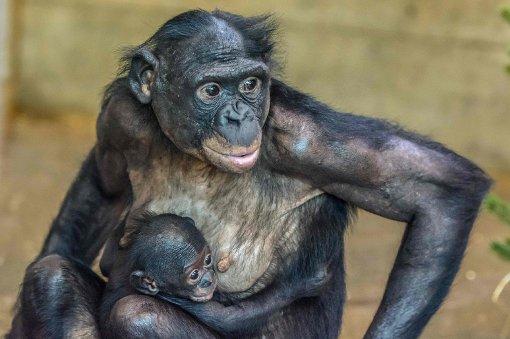Bonoby-Baby Makasi ist ein Junge