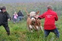 So wurde bYvonne/b berühmt: Als Kuh auf Abwegen hielt sie sich lange Zeit in einem oberbayerischen Waldgebiet versteckt. Es wurde gemunkelt, sie wollte dem Schlachter entgehen. Da dieser Wunsch nur allzu verständlich ist, wurde Yvonne Anfang September 2011 eingefangen und ihr eine Karriere als Sport-Orakel ermöglicht. Foto: dpa