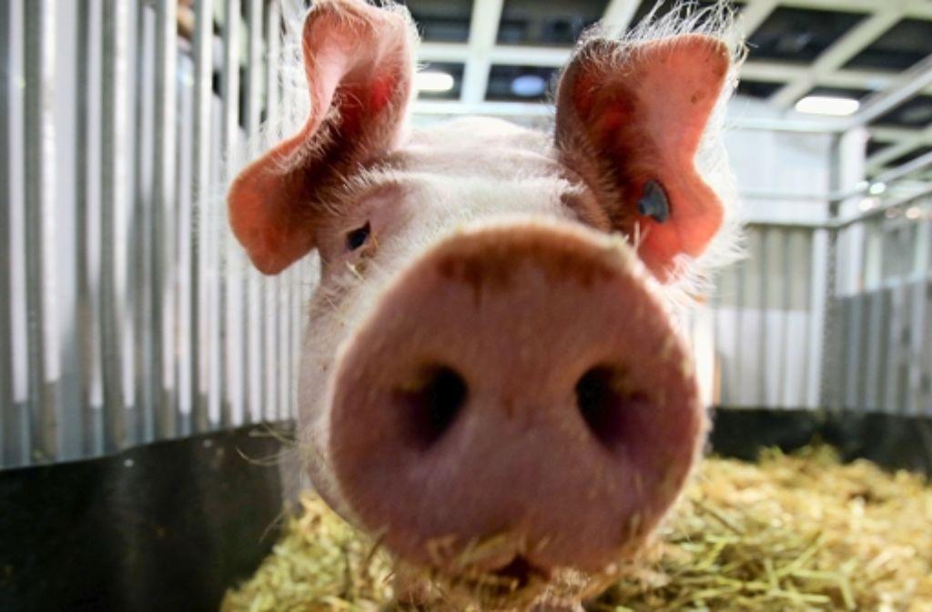 Rund Ums Schwein Einfach Saustarke Redensarten Wissen