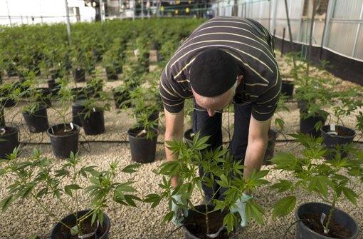 In einem israelischen Gewächshaus wird medizinisches Marihuana für den Staat angebaut. Foto: EPA