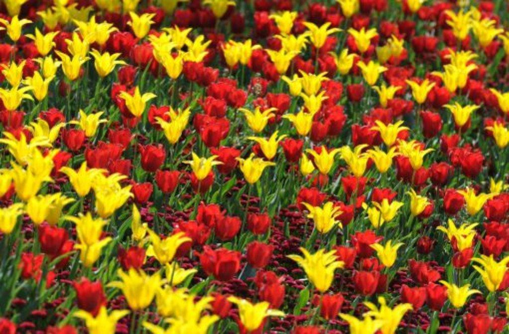 tulpen narzissen hyazinthen und andere zwiebelblumen. Black Bedroom Furniture Sets. Home Design Ideas