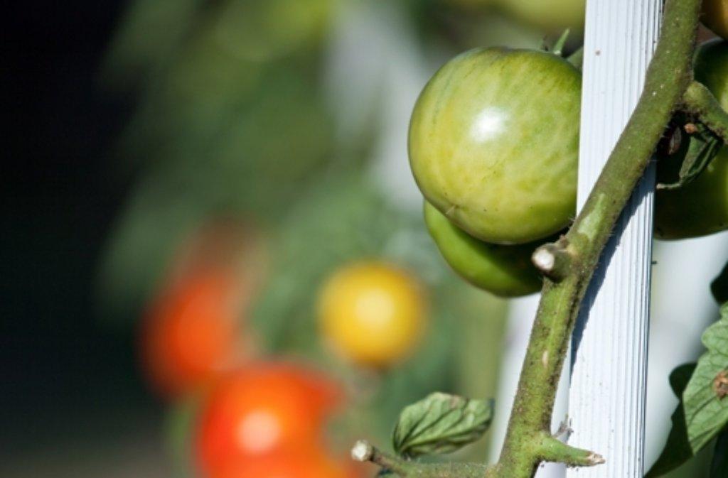 Etwas Neues genug Letzte Ernte im Herbst: Äpfel lassen grüne Tomaten reifen - Wissen @JX_12