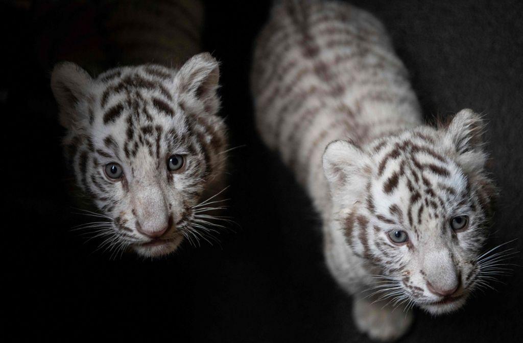 Südchina Zoo Präsentiert Seltene Weiße Tigerbabys Panorama