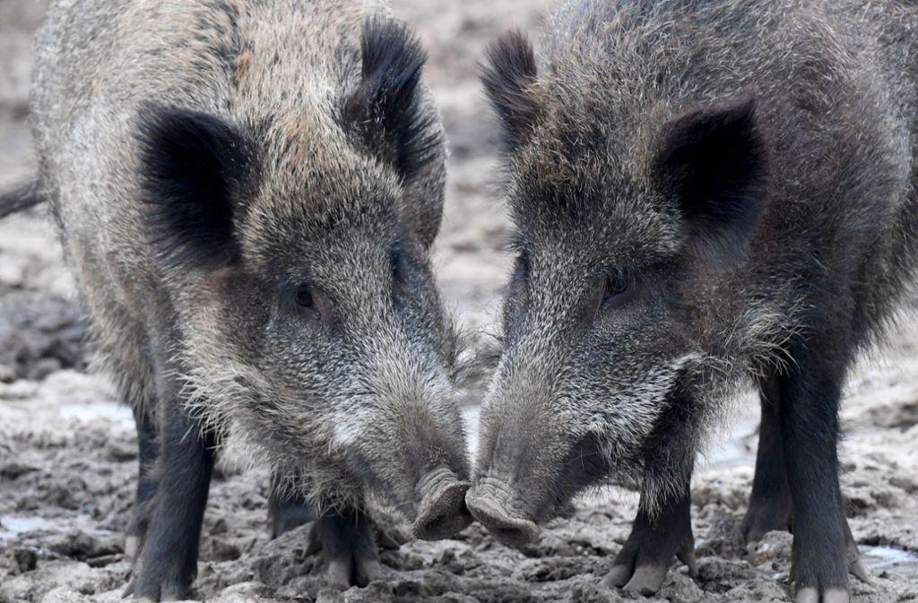 Jagd Auf Wildschweine Grun Schwarz Will Schweinepest Abwehren