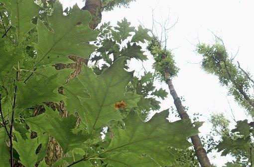 An den Eschen im Land sterben zuerst die Triebe ab – dann der ganze Baum. Foto: dpa