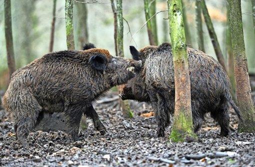 Forstamt bläst zur Jagd auf Wildschweine