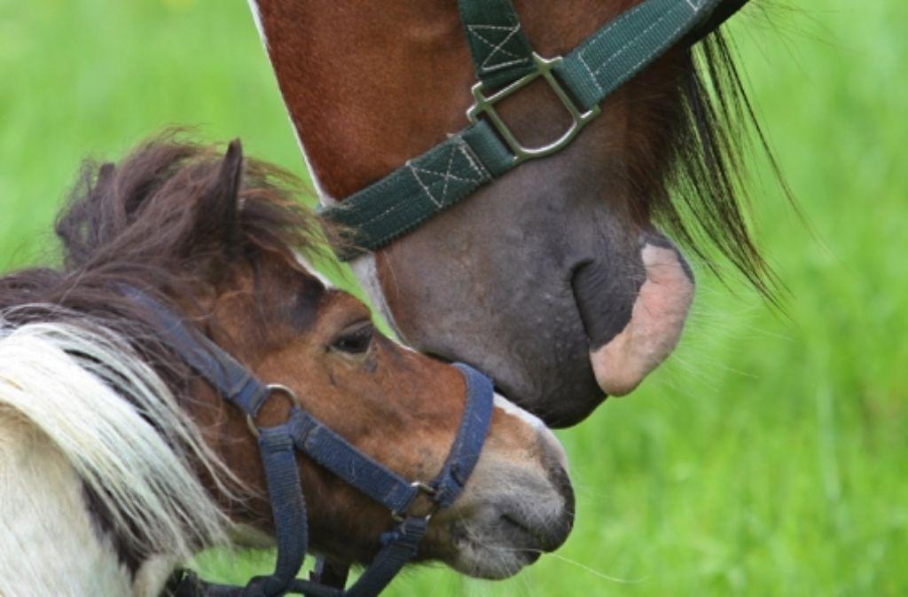 Gut Zu Wissen Wann Ein Pferd Ein Pony Ist Wissen Stuttgarter