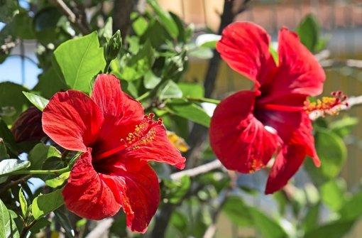 chinesischer hibiskus exotischer dauerbl her web wissen stuttgarter nachrichten. Black Bedroom Furniture Sets. Home Design Ideas