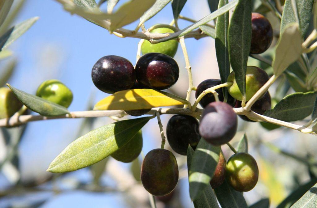 stiftung warentest exzellentes oliven l hat seinen preis. Black Bedroom Furniture Sets. Home Design Ideas