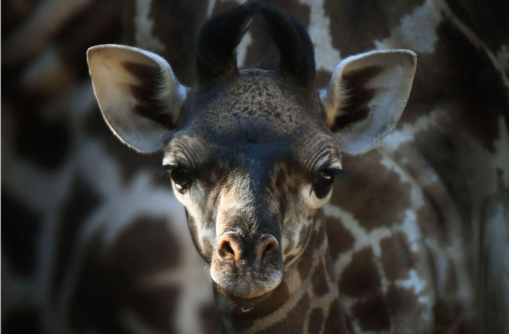 Zoo In Los Angeles Baby Giraffe Verzaubert Die Welt Petcontent