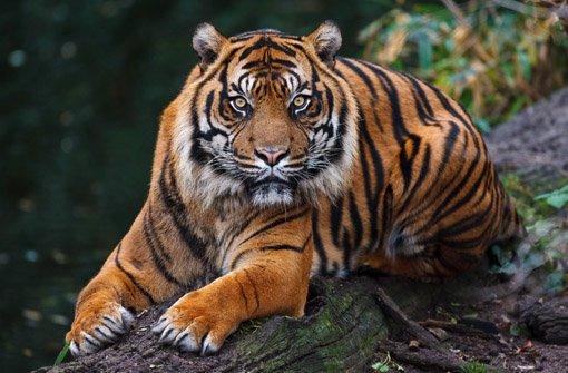 wilhelma stuttgart trauert krebs tiger carlos eingeschl fert wilhelma stuttgarter nachrichten. Black Bedroom Furniture Sets. Home Design Ideas