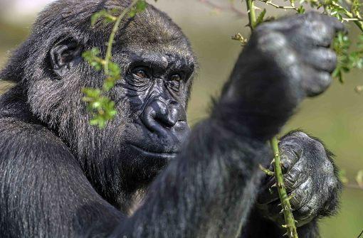 Gorilla-Mädchen Mawenzi sucht Familienglück in Dänemark