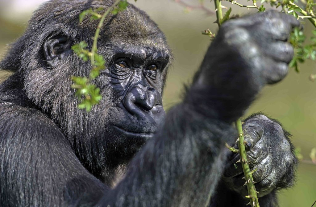 wilhelma stuttgart gorilla m dchen mawenzi sucht familiengl ck in d nemark stuttgart. Black Bedroom Furniture Sets. Home Design Ideas