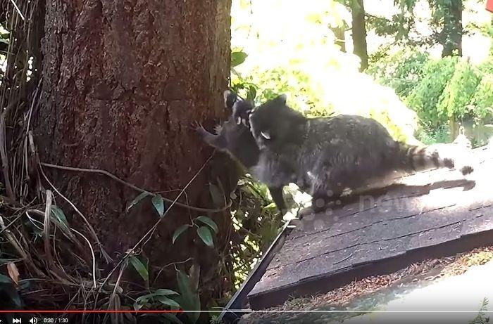9db08dd2cdfd9e Waschbär-Video auf Youtube Mama Waschbär bringt ihrem Baby das Klettern bei