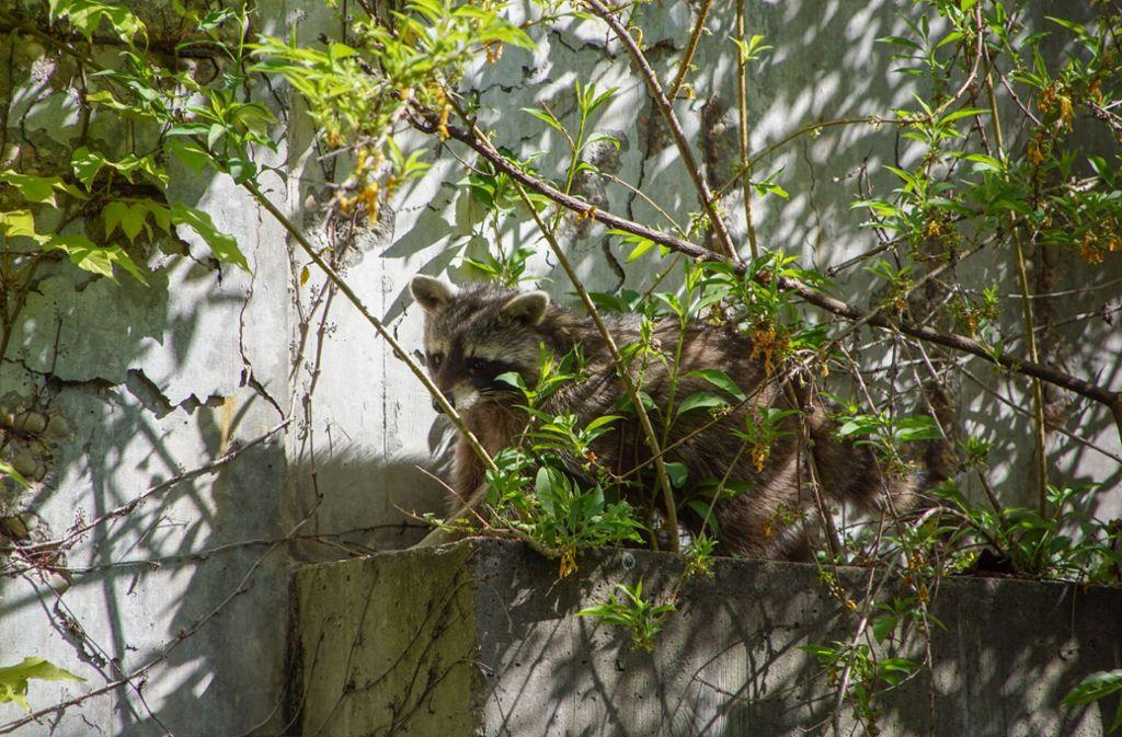 75a081ca70924f Der Waschbär sitzt an der Betonwand und harrt der Rettungsversuche. Foto   SDMG