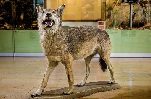 Überfahrene Wölfe bald öffentlich zu sehen
