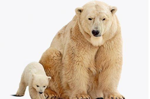 bEisbär/bbr Unterarten: Keine.br Lebensraum: Eisbären leben in der Arktis meist auf der küstennahen Packeisschicht, die das Nordpolarmeer rund um den Nordpol bedeckt.br Heimat: Teile von Kanada, Grönland, Spitzbergen in Norwegen, diverse russische Regionen und Alaska.br Bestand: Zwischen 20000 und 25000 Tiere. Aufgrund des zunehmenden Klimawandels zeigt der Trend nach unten.br Status: Gefährdet. Foto: Fotolia
