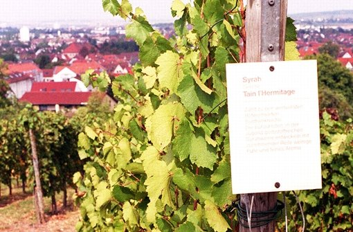 Zeugen in Fellbach von der Partnerschaft mit Tain l'Hermitage: Syrah-Reben Foto: StN