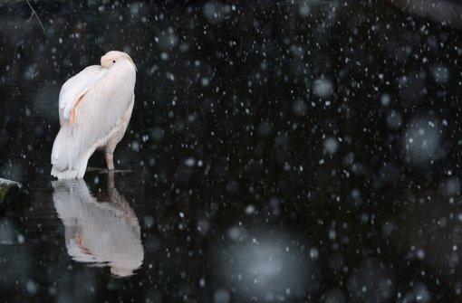 Ein Rosa-Pelikan kauert am selben Tag, nur hunderte Kilometer weiter westlich im Zoo in Frankfurt/Main im Schneetreiben im Wasser eines Teiches. Der Winter hat sich auch in vielen Teilen Hessens mit Schnee und frostigen Temperaturen wieder zurückgemeldet. Foto: dpa