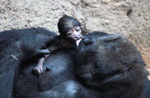 Ein Baby-Gorilla zum zweiten Advent