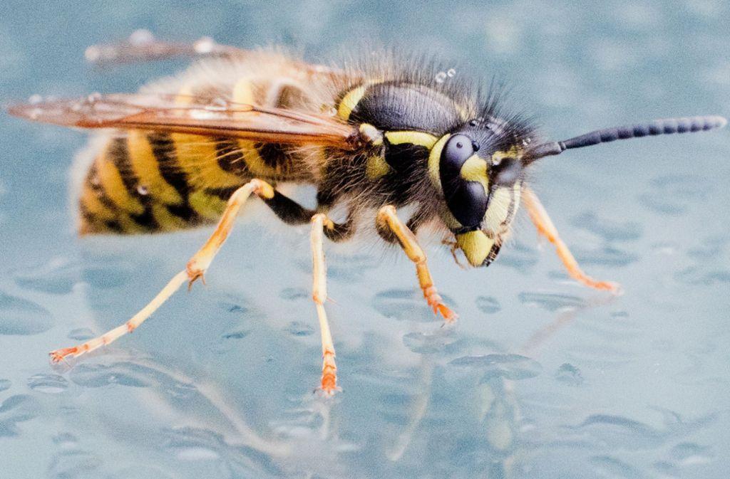 Sommerzeit Wespenzeit Das Hilft Gegen Wespen Panorama
