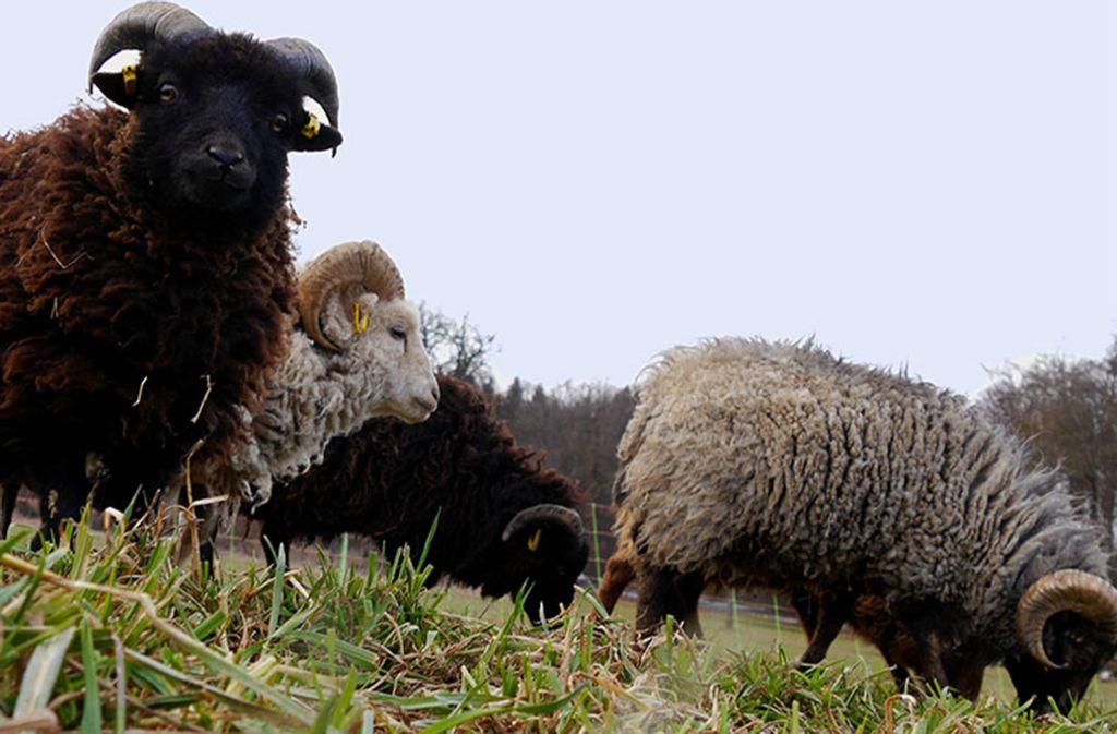 Schafe Im Kreis Boblingen Ein Biomaher Fur Den Perfekten Rasen Boblingen Stuttgarter Nachrichten