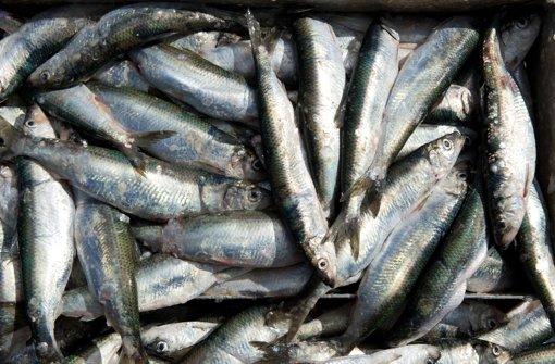In einer Prüfung werden aber allein schon bis zu 5000 faulige Fische... Foto: dpa