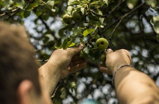 Bitte strecken: Ein paar gut aussehende Früchte hängen noch weiter oben am Baum. Foto: Lichtgut/Max Kovalenko