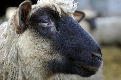 Vier Schafe kamen bei einem Brand ums Leben. (Archivbild) Foto: dpa