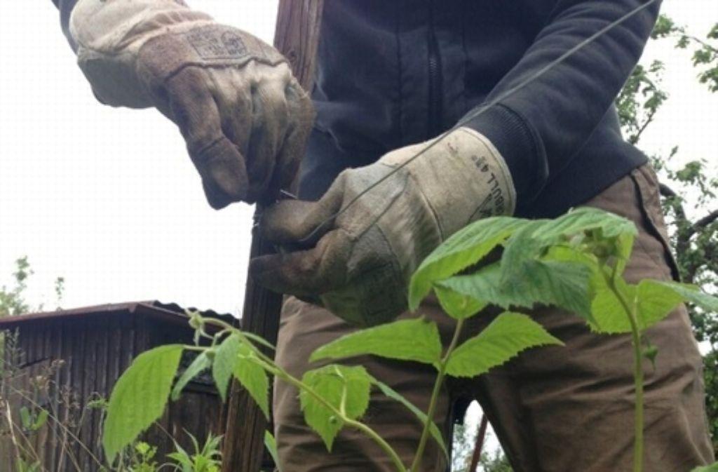 Klettergerüst Für Himbeeren : Mein garten: den pflanzen beim klettern helfen stuttgart