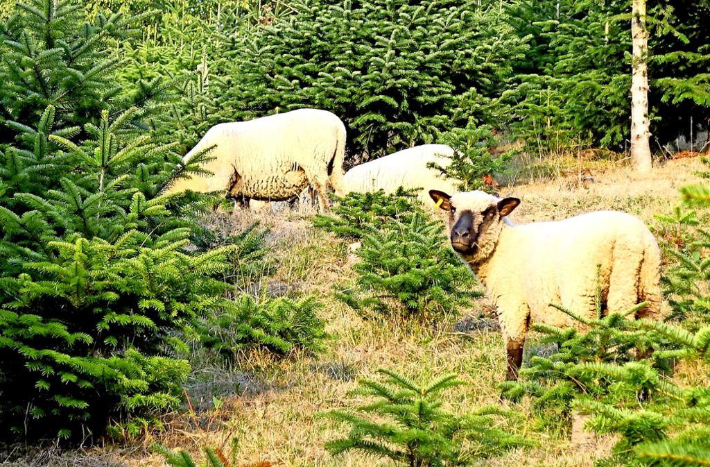 Weihnachtsbaum England.Aktion Sauberer Weihnachtsbaum Schafe Fressen Für Den öko