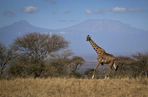 Die Giraffe ist in Gefahr