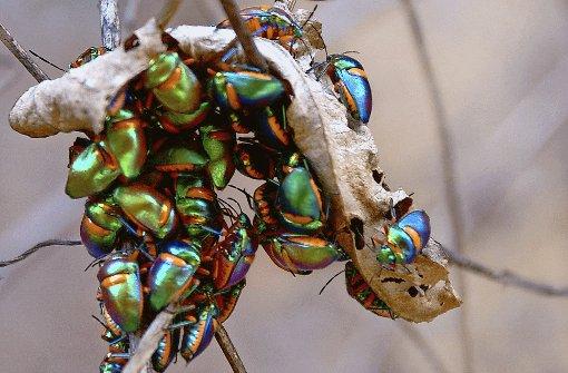 Bei Temperaturen von mehr als 40 Grad suchen auch die Harlekinkäfer Schutz unter einem vertrockneten Blatt.  Foto: Warth