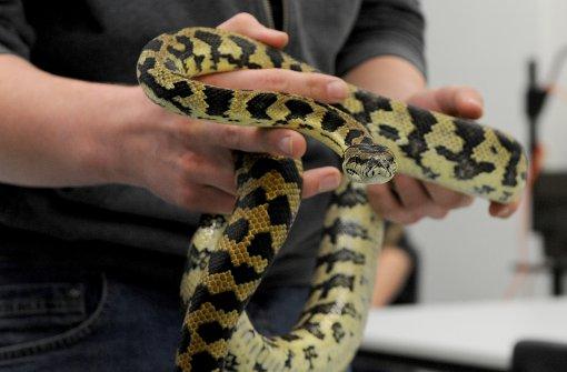 Python beißt Thailänder in seinen Penis