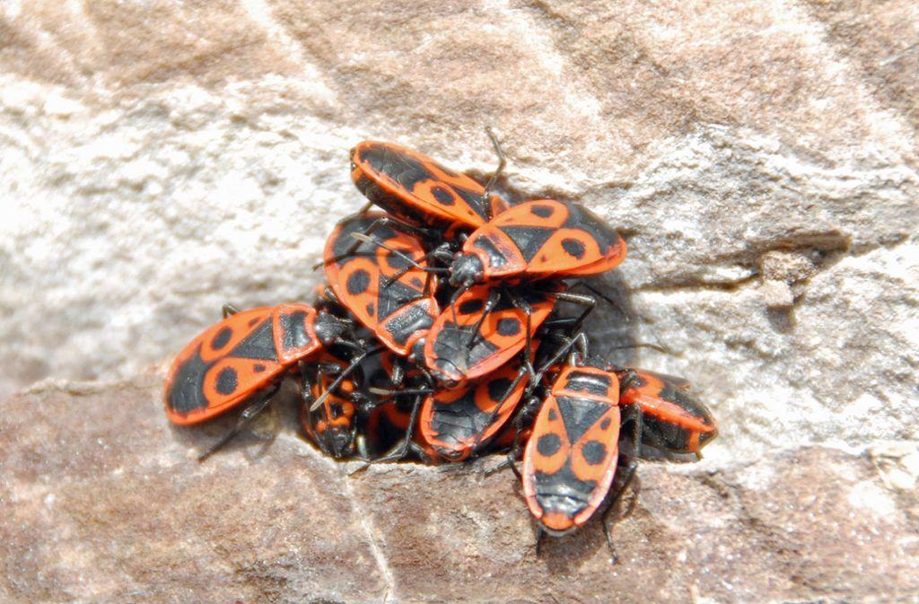 Feuerwanzen Ameisen Und Co Was Tun Gegen Ungeziefer Im Garten