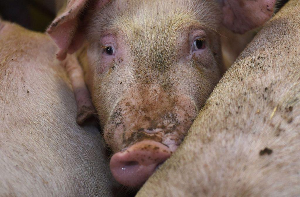 suhlen dreck nackt schweine