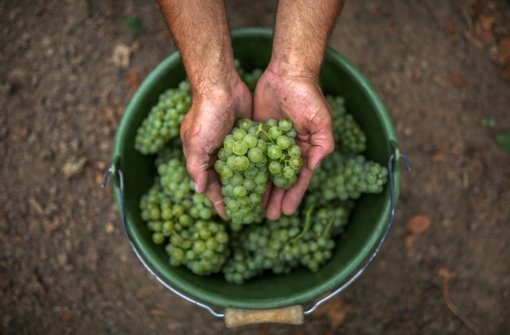 In den vergangenen fünf Jahren war die Ernte in Württemberg kleiner als gewöhnlich – das setzt die Winzer unter Druck. Foto: dpa