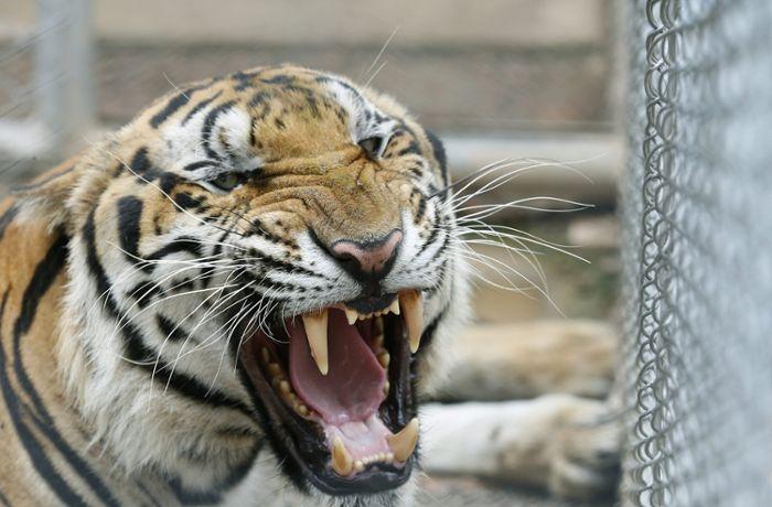 Tiger Tötet Pflegerin