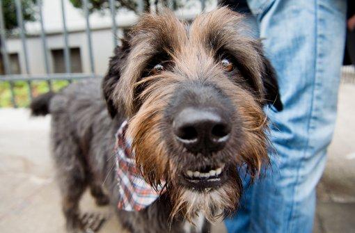 Gefahr für Hunde durch Staupe-Virus