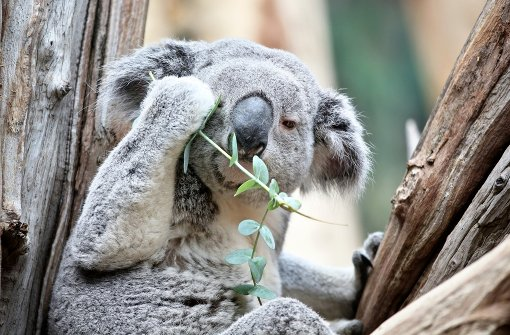 Koala Oobi-Ooobi wird EM-Orakel