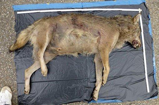Ist das tote Tier, das an der A5 bei Lahr gefunden wurde, ein Wolf?  Foto: FVA/dpa