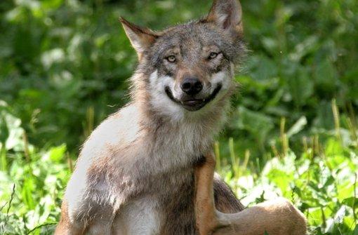 Die R Ckkehr Der W Lfe Der Wolf Geht Um Baden