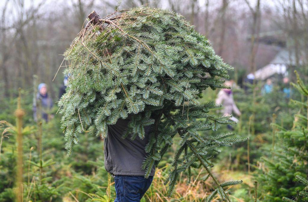 Weihnachtsbaum Ab Wann.Brauchtum Im Strohgäu Der Weihnachtsbaum Alles Eine Frage Der